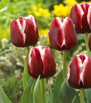 Tulipe Armani