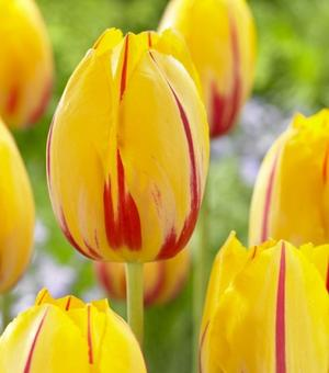 Tulip La Courtine