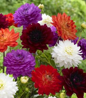 Collection des Dahlias Karma