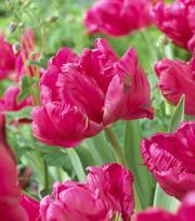 Tulipe Cerise Parrot