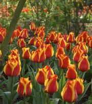 Tulipe Cape Cod