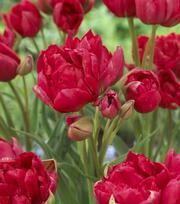 Tulipe Estatic
