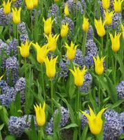 Tulipe West Point