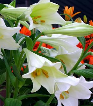 Lys White Triumphator