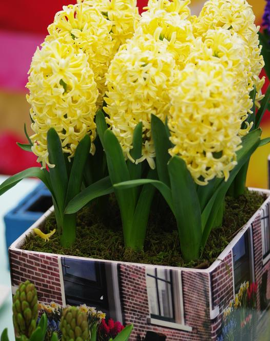jacinthes pr par es bulbes d 39 int rieur floraison printani re explorez notre magasin. Black Bedroom Furniture Sets. Home Design Ideas