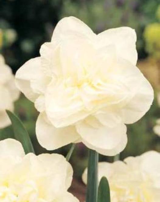 Narcisse Obdam