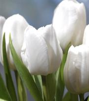 Tulipe White Dream