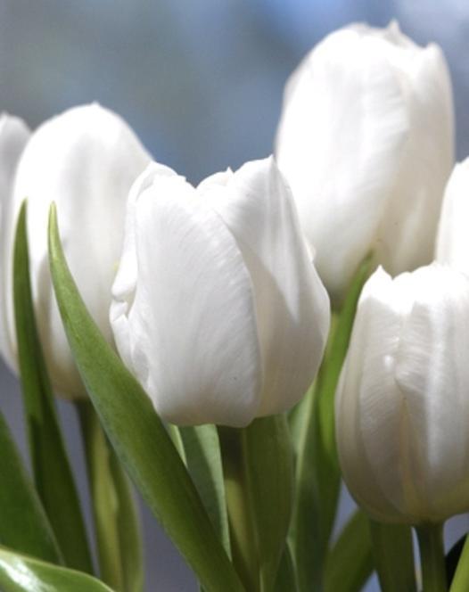 Tulipe White Dream