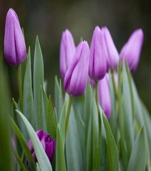 Tulipe Violet Beauty