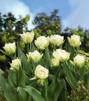 Tulipe Global Desire