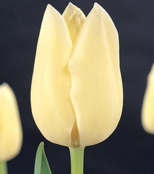 Tulipe City of Vancover