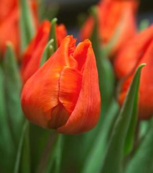 Tulipe Orange Dream