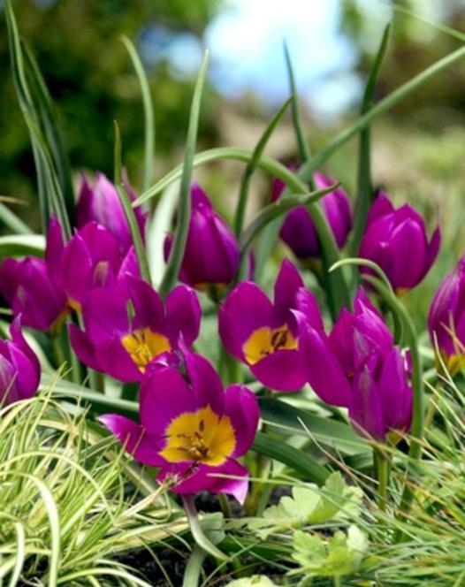 Tulipe Humilus Eastern Star