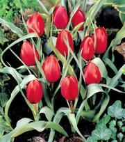 Tulipe Wilsoniana