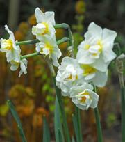 Narcisse Cheerfulness 25kg