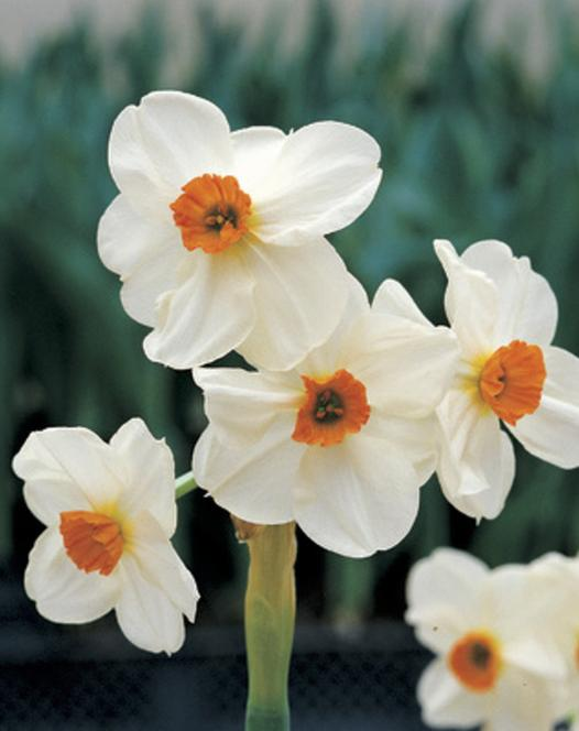 Narcisse Geranium 25kg