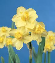 Narcisse Yellow Cheerfulness 25kg