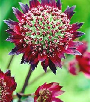Astrantia Major Ruby Cloud