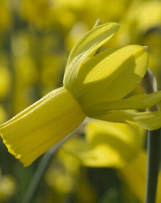 Narcisse Rapture