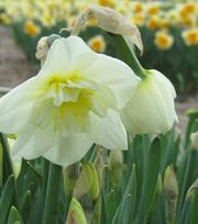 Narcisse Papillon Blanc