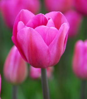 Tulipe Don Quichotte