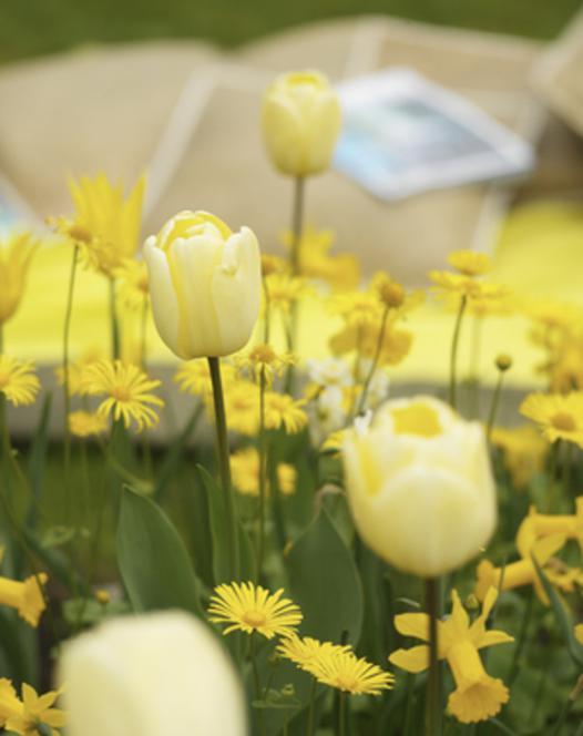 Tulipe Ivory Floradale