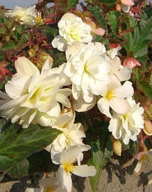 Bégonia Illumination Blanc