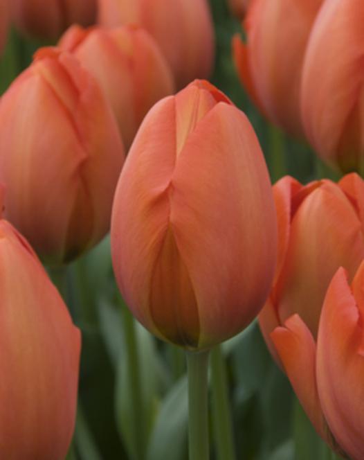 Tulipe Orange Sun