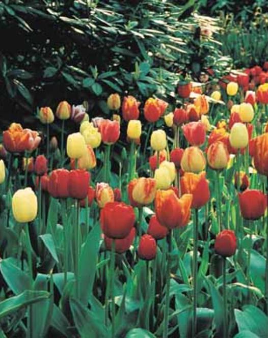 Tulipes Darwin Hybride Mélange