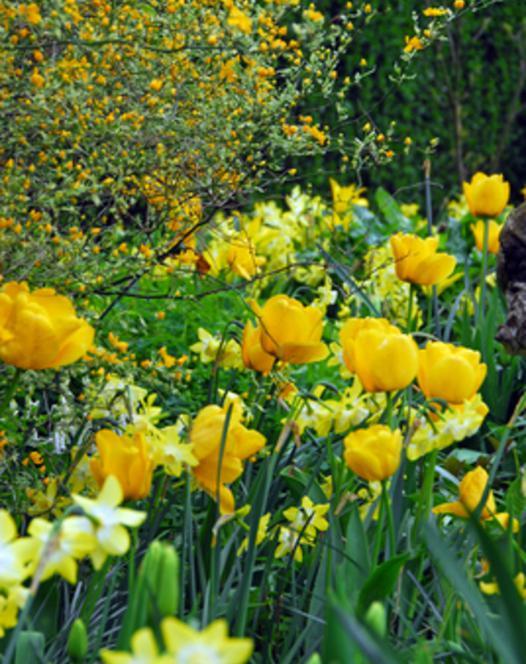 Tulipe Golden Apeldoorn