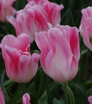 Tulipe Holland Chic