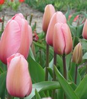 Tulipe Pink Impression