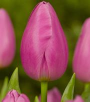 Tulipe Pink Twist