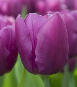 Tulipe Purple Flag