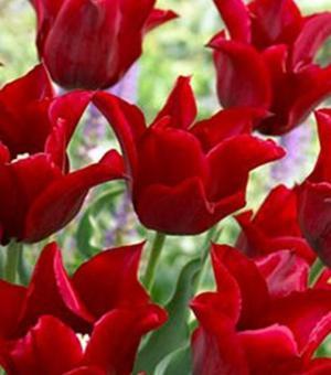Tulipe Lasting Love