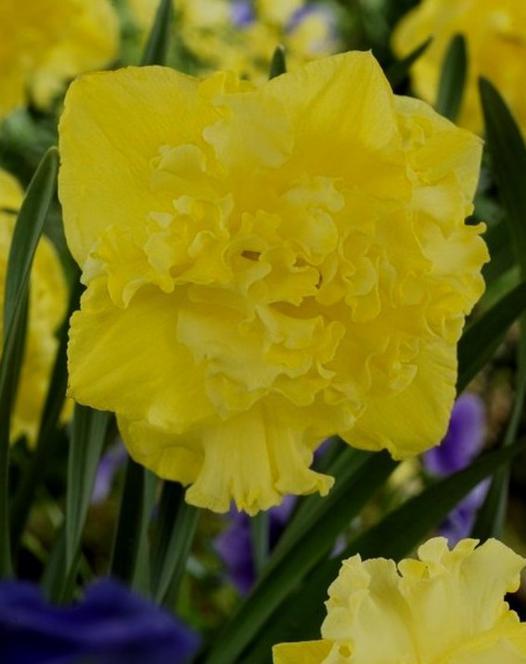 Narcisse Flyer