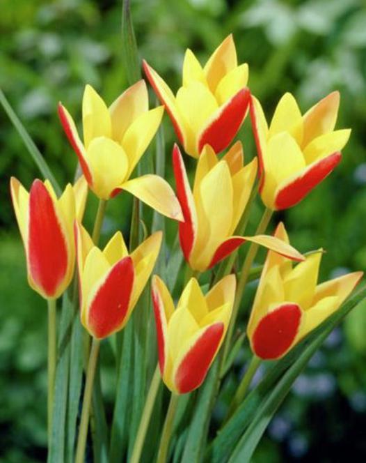 Tulipe Clusiana Cynthia