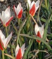 Tulipe Clusiana Stellata