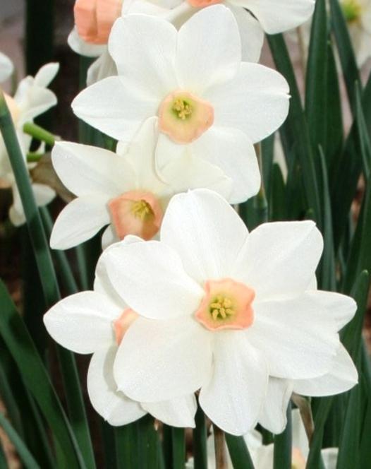 Narcisse Bellsong