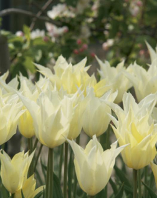 Tulipe Sapporo