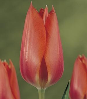 Tulipe Temple of Beauty