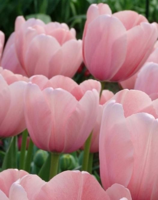 Tulip Sweet Impression
