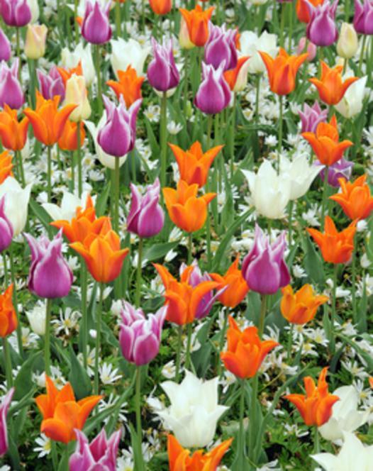 Tulipes à Fleurs de Lis Mélange