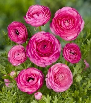 Ranunculus Aviv Rose Foncé