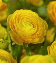 Ranunculus Aviv Jaune Foncé
