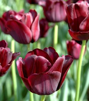 Photo Tulip Black Jack