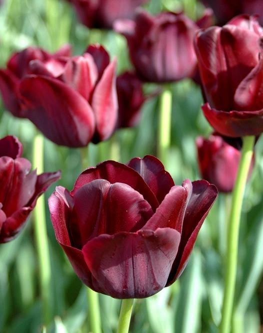 "Photo <a href=""/black-jack-2332.html"">Tulip Black Jack</a>"
