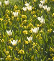 Tulipe Concerto