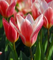 Tulipe Heart's Delight