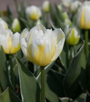 Tulip Happy People